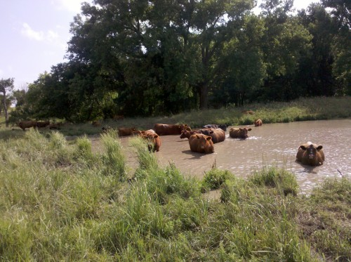 Cow Swimming Party