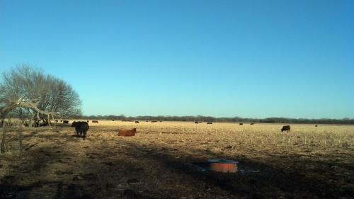 Cattle on stalks.