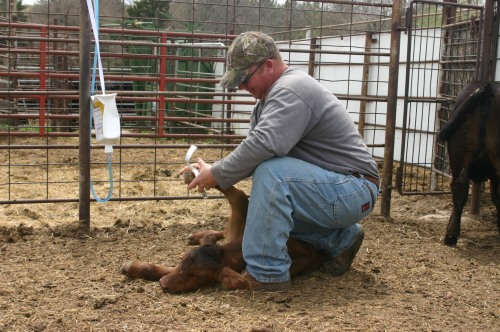Matt using a measuring tape of the foot of a newborn calf to determine it's birth weight.
