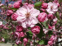 The flowering crab apple trees are heavy-laden with blooms. Gorgeous eye candy!